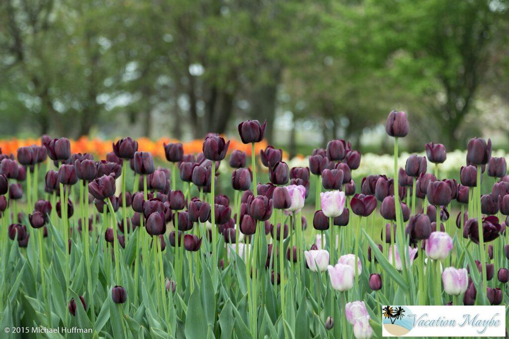 Tulip Time Festival In Holland MI Vacationmaybecom - Holland tulip festival