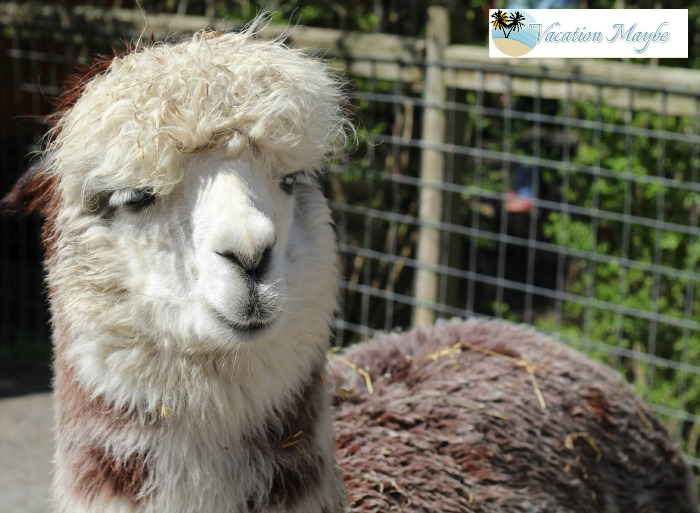 Reach out and touch the animals at  Living Treasures Wild Animal Park alpaca