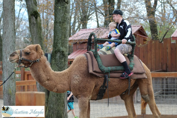 Reach out and touch the animals at  Living Treasures Wild Animal Park riding a camel