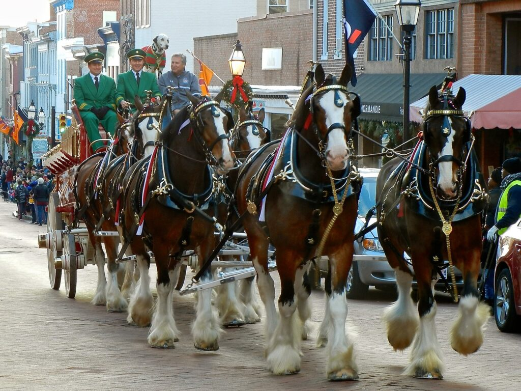 Clydesdales in the Military Bowl Parade